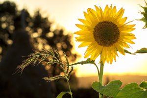 a sunflower and sunshine