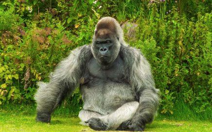 gorilla in nature